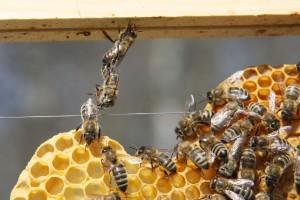 APiS Technology – Salvar abelhas com tecnologia portuguesa