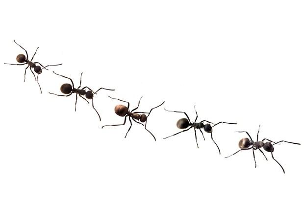Formigas poderiam ajudar a melhorar tráfego da Internet