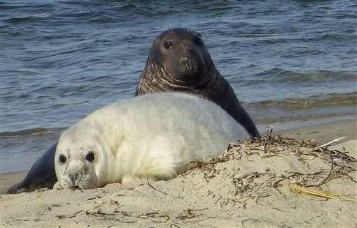 Cientistas usam drones para estudar colónias de focas